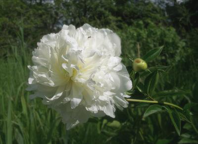 БелосНежное воспоминание о лете ... лето цветок пион муравей