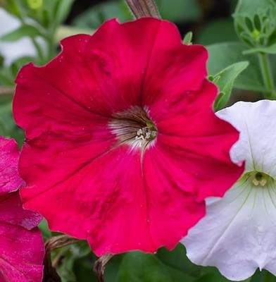 Петуния Цветы природа петуния фотография