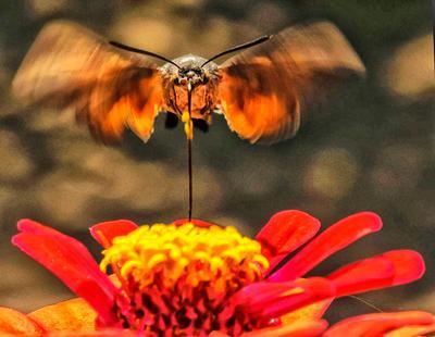 Зависание бабочка бражник колибри