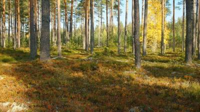 В лесах Карельского перешейка Осень лес брусника сосны