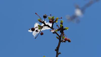 Осень -зима - весна, как говорится, в одном флаконе. В смысле - на одной ветке Природа зима весна ягодка листочек