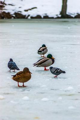 птички зима пруд птицы