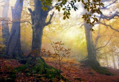 ***Лесные великаны Осень утро туман грабы