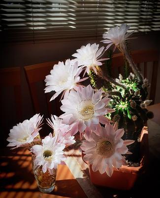 КАКТУС РАСЦВЁЛ цветы кактус