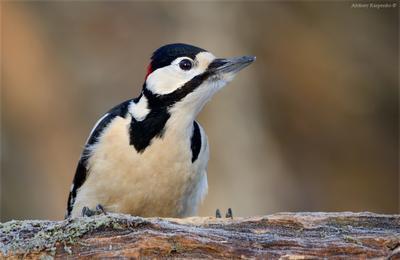 Зимний дятел БПД дятел птица wildlife
