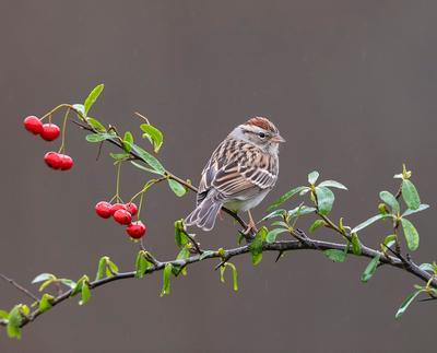 Обыкновенная воробьиная овсянка - Chipping sparrow