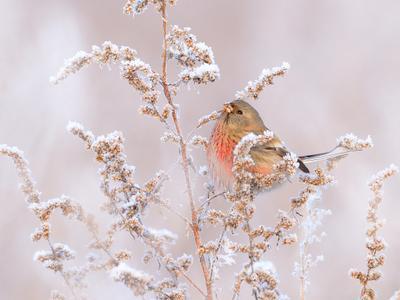 На зимнем лугу природа птицы фотоохота урагус