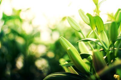 Зеленое настроение цветы лилии зеленый боке растения природа весна тепло