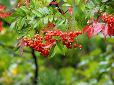 *** дождь ягоды осень