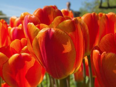 Тюльпаны Тюльпан
