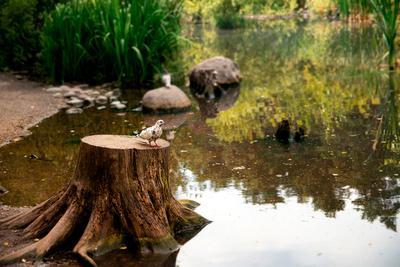 Часовой на вышке голубь наблюдение пруд озеро Новосибирск