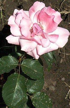 Розулька роза