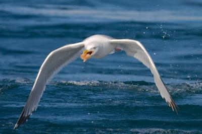 охота чайка