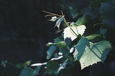 *** природа листья виноград
