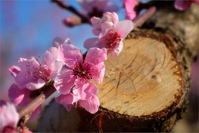 Новая жизнь весна персики небо цветы сад