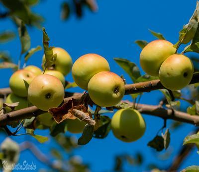 Дикие яблоки.В ожидании лета! дикие яблоки лето