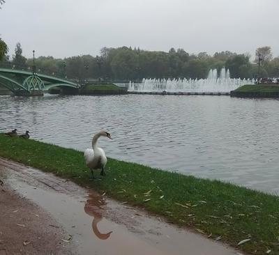 Лебедь на пруду под моросящим дождем. Царицино фонтан лебедь