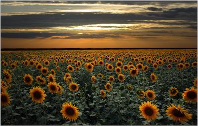 летним... летом природа подсолнухи поле небо тепло