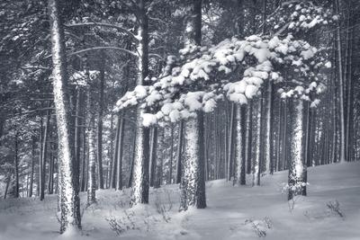 Продолжение седого леса... лес зимний деревья в снегу зима