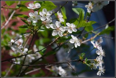 """""""Блаженный праздничный наряд..."""" Байкал, Валерий Кукин, Юбилей, Праздник, цветущая вишня, цветы, весна"""