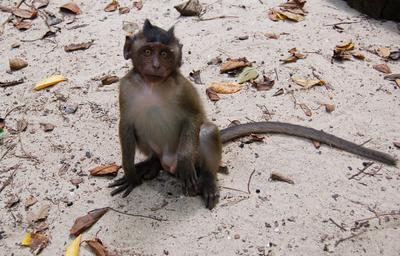 Натуральный Чертенок обезьяна, обезьянка, monkey, чертик, чертенок, смешной, милый