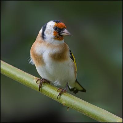 Щегол щегол осень птица