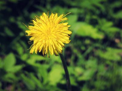 Одуванчик цветы одуванчик макро лето флора