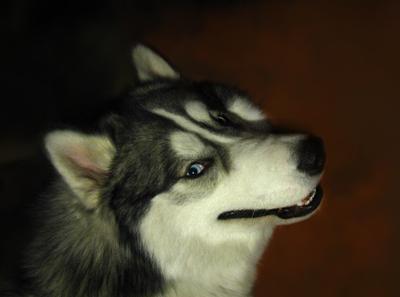 хитрость хитрый хаски собака