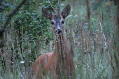 Косуля косуля.лес.охота природа