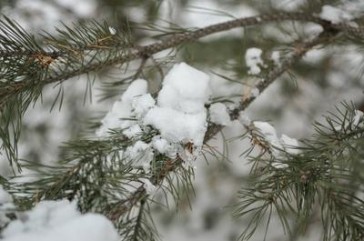 Ветка ели Ветка снег ель зима прогулка лес макро