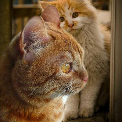 Рвжики Фото.Коломна Москва Россия..мобильное фото.коты.рыжие.животные