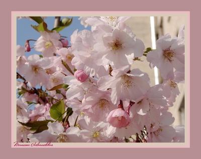 Вспомнить весну японская слива