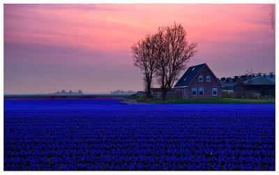 Вечер в аромате гиацинтов Голландия, весна