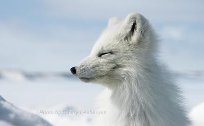 Улыбка. Арктика песец зима