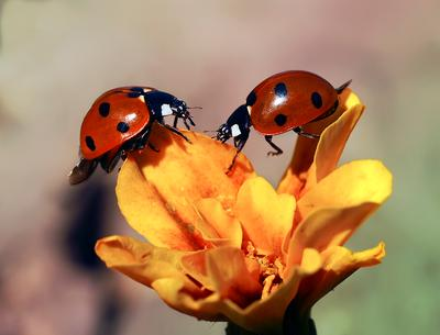 Дружба макро божья коровка насекомые