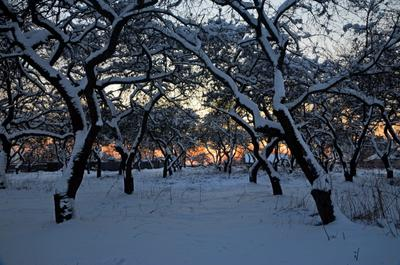 *** зима закат сад деревья