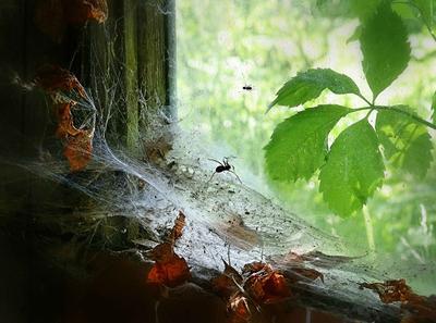 Муравьишкины страхи паутина листья подоконник паук муравей