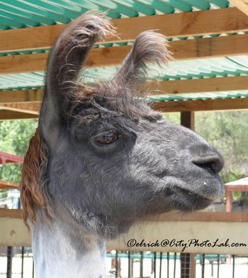 Лама Лама llama зоопарк животное южная калифорния