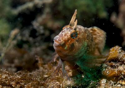 Длиннощупальцевая морская собачка