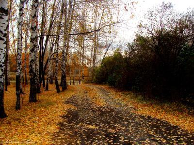 Тропинка в осень... осень природа пруд берёзы тропинка