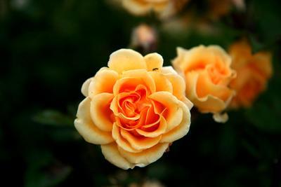 Про муху Цветок Роза Муха