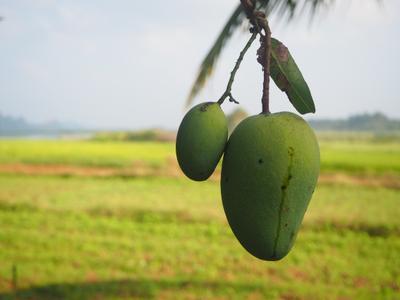 Идеальное утро манго фрукт Шри-Ланка утро