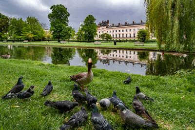 Председатель собрания... Лондон Риджентс-Парк серый гусь голуби