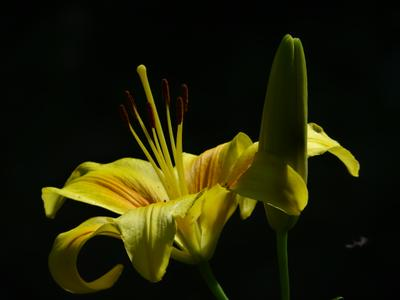* Прошли дожди - Полуденное солнце в августе - Лилия в желтом * very long distance macro sony dsc-hx200 moscow suburb lily close-up flowers