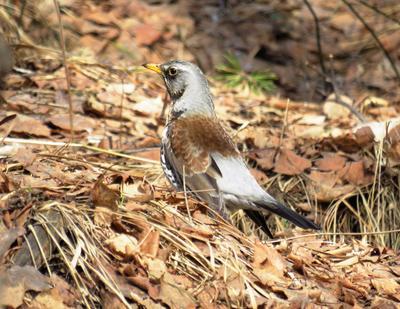 Весенний дрозд в перелеске птицы дрозд весна