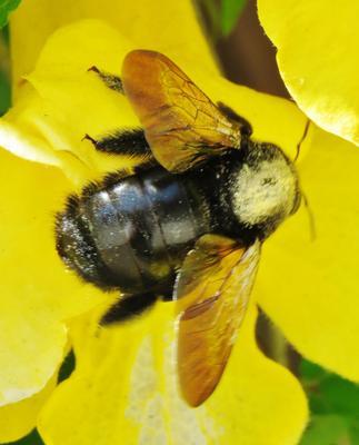Шмель шмель насекомое опыление bumblebee insect bombus apidae bombini pollination