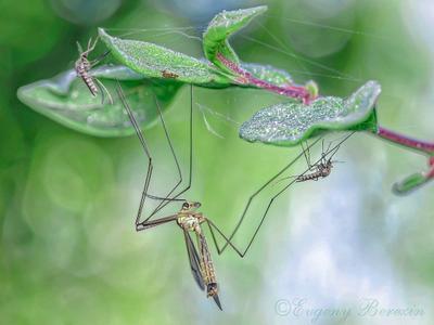 - Нет, нет, вы не мои дети! макро комар