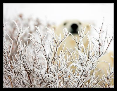 Новогодняя Белый медведь Канада Churchill