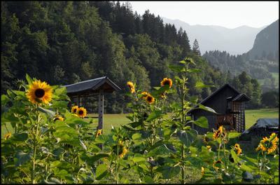 *** Словения Бохин горы Ерека деревня подсолнухи