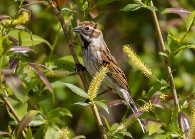 Овсянка камышовая (тростниковая) самочка Овсянка камышовая овсянка тростниковая Emberiza schoeniclus птицы птица пернатые